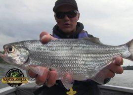 Manitoba Master Angler Minute – Fishing for Jumbo Mooneye!